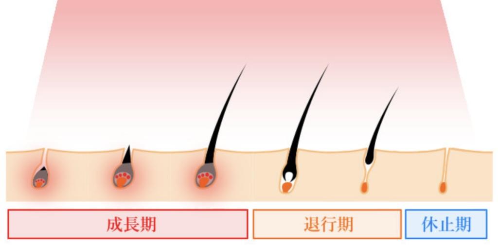 成長期、退行期、休止期などの毛周期