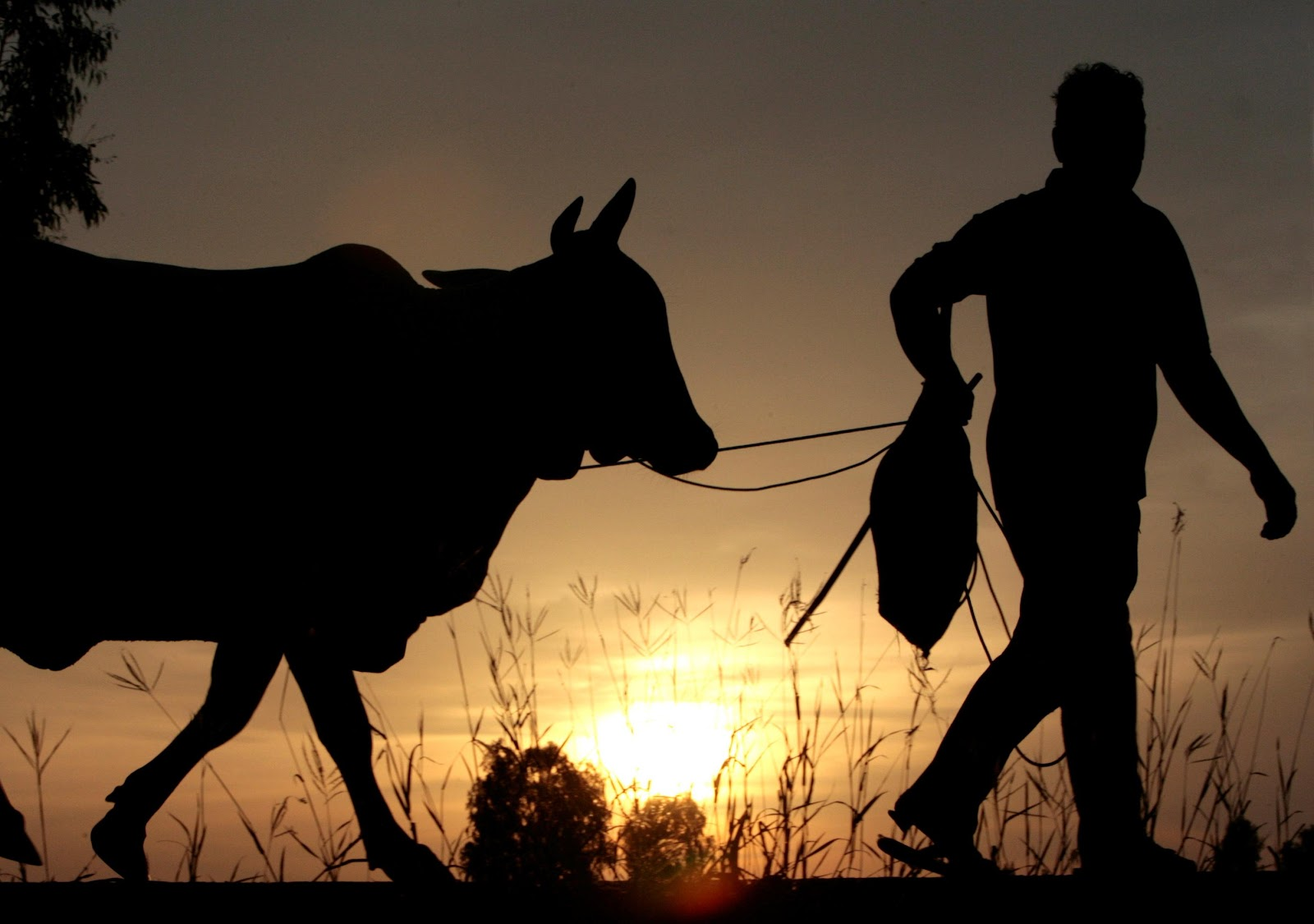 A farmer in Thailand walks his cattle back home as the sun sets on August 14, 2007. REUTERS/Sukree Sukplang