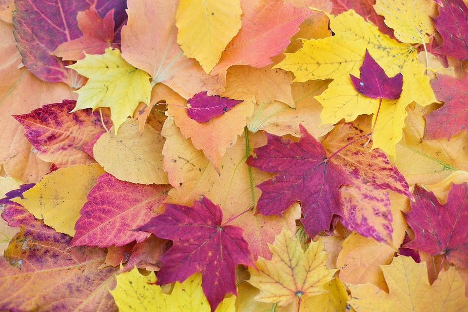 Free photo: Autumn Leaves, Colorful Leaves - Free Image on Pixabay ...