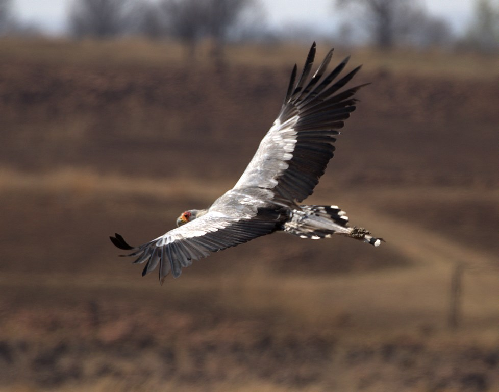 secretary bird (Copy).jpg