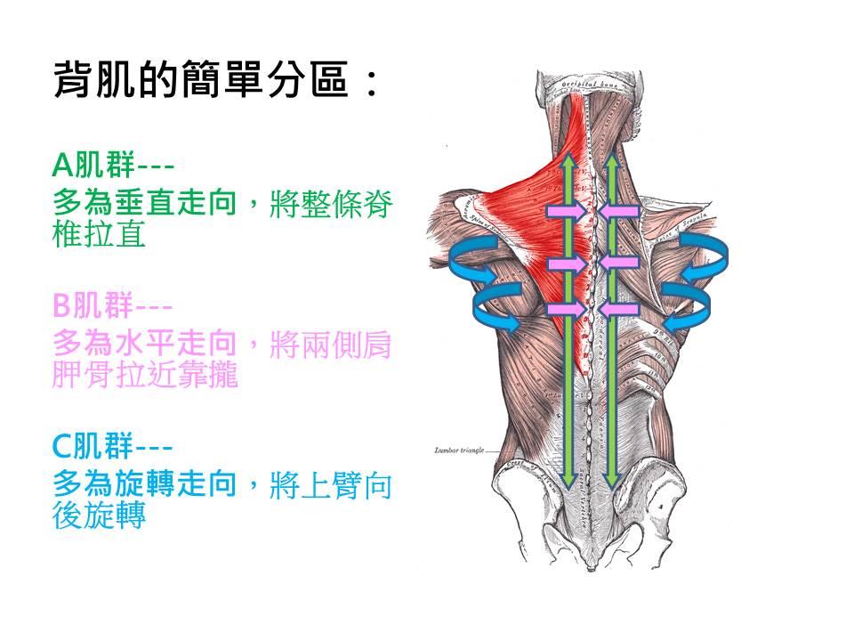 背部肌肉分區.jpg