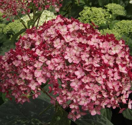 Hydrangea arborescens Invincibelle® Ruby | White Flower Farm