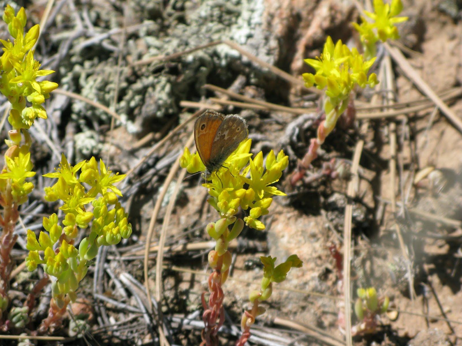 Stonecrop (Sedum stenopetalum)