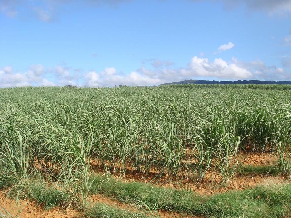 plantação cana-de-açúcar