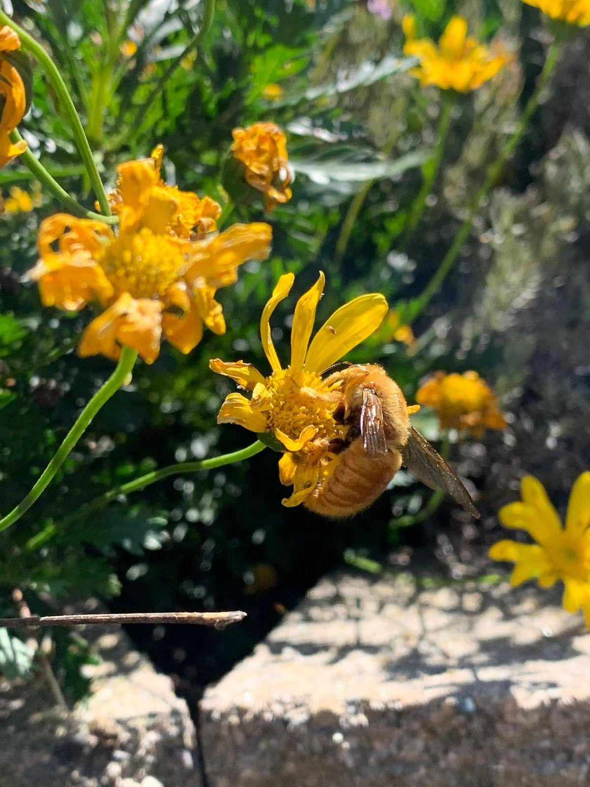 Yellow flowers on green stems. Large  brown bee on one of the flowers.