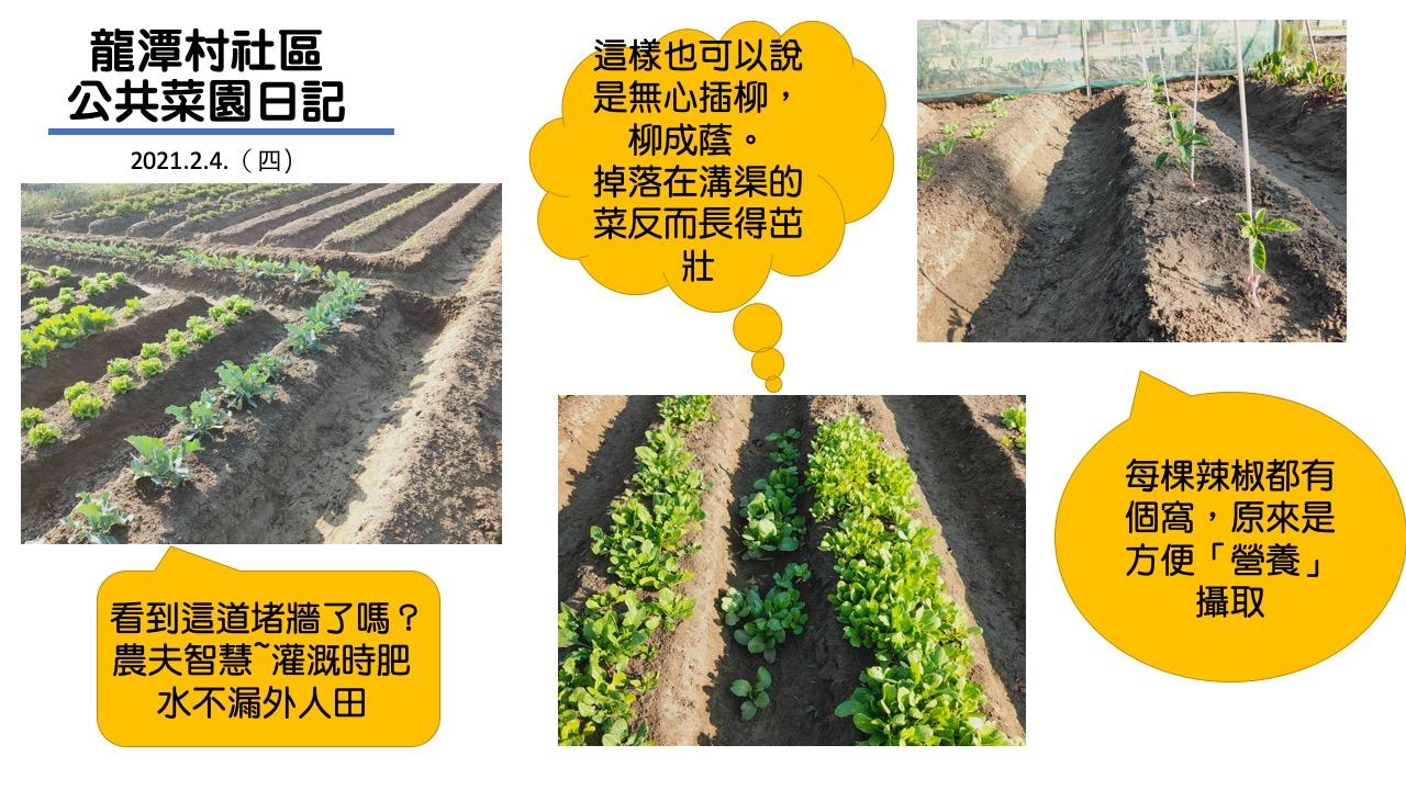 龍潭村社區公共菜園日記:二月四日、二月五日