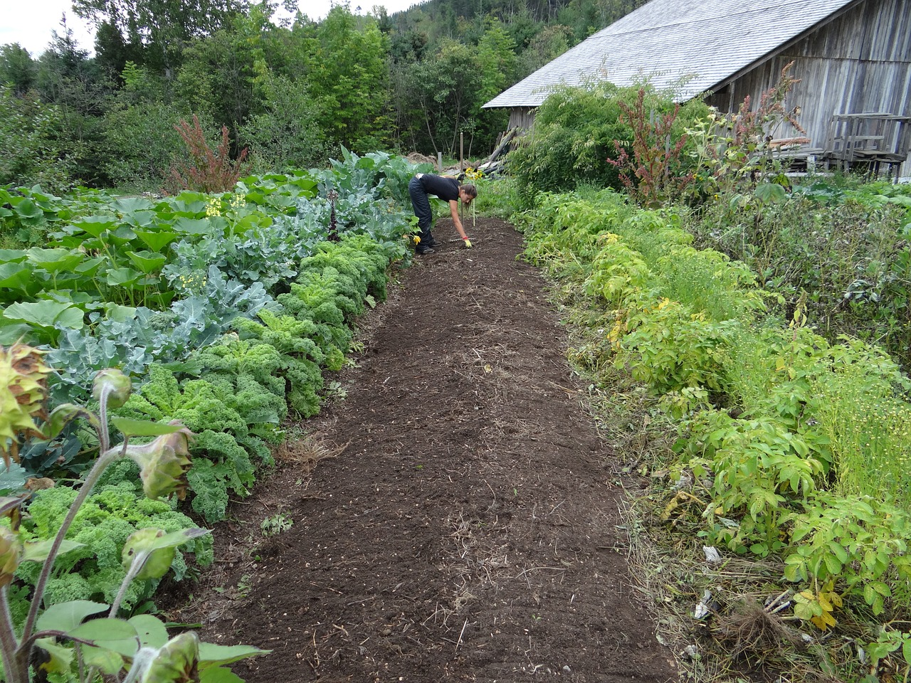 Vegetables in rows, one type of Companion Planting