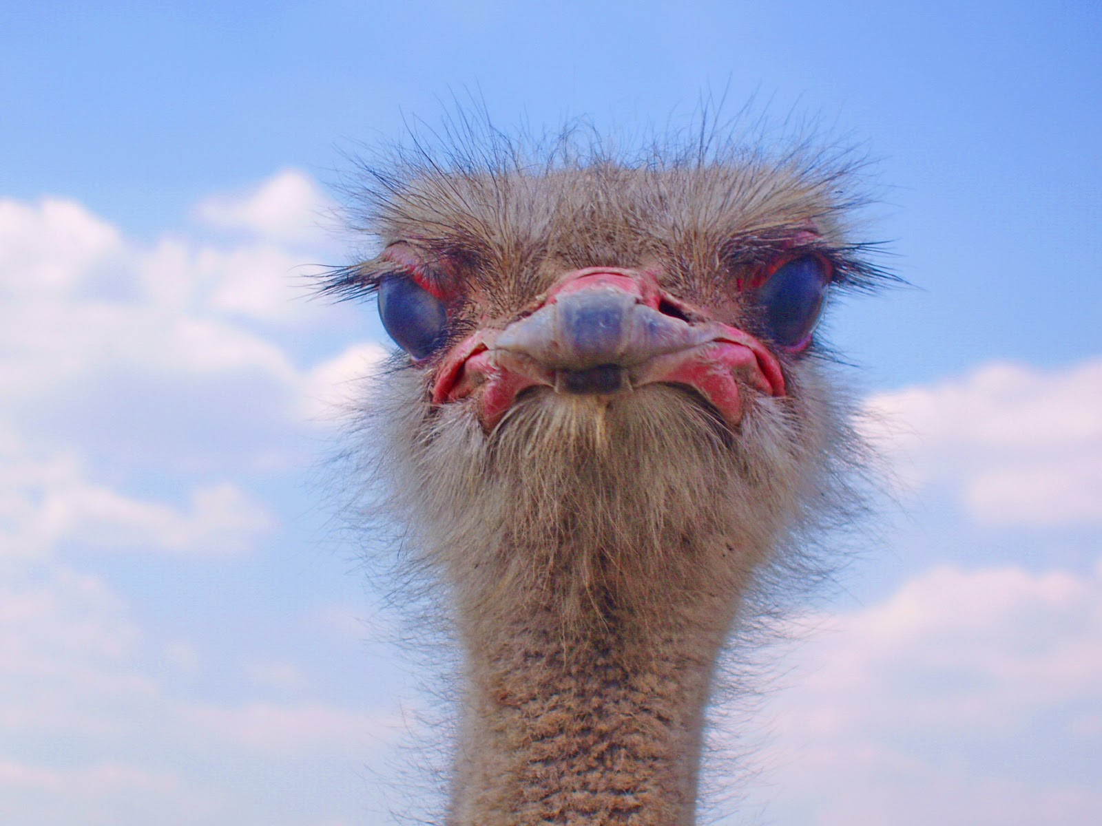 Tracking Ostrich