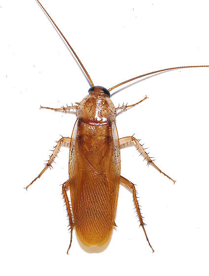 Turkestan cockroach