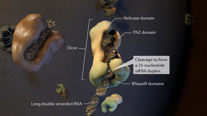 Dicer cleaves an ssRNA into an siRNA duplex