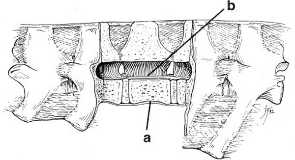 The longitudinal ligaments of the spinal column