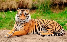 tigre asiatico.jpg