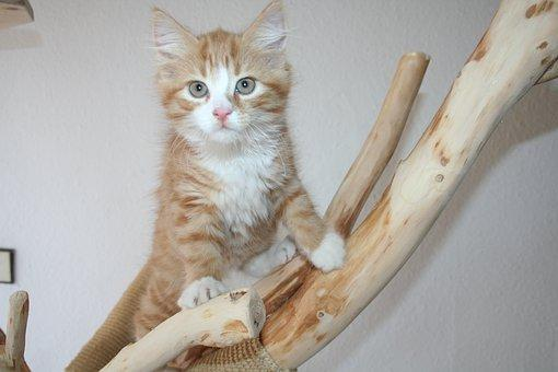 Maine Coon Kitten: 13 Things To Know Before Buying