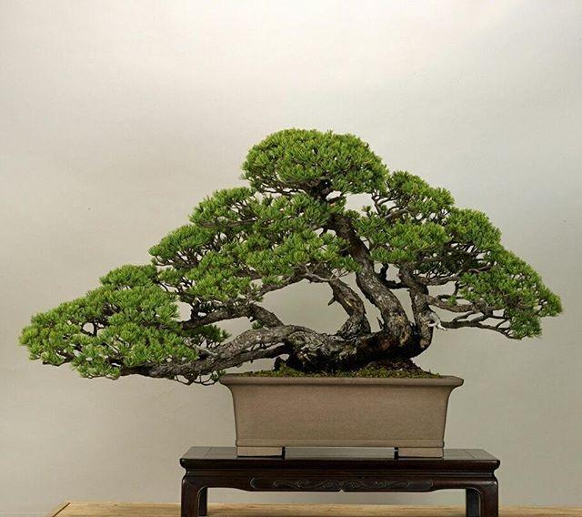 bonsai modelo kabudachi