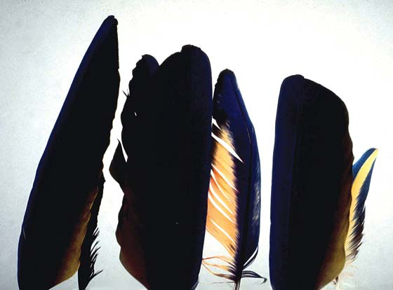 Dorsal views of three normal and three abnormal feathers from the same dietary situation(s) as described in Fig 6.57k