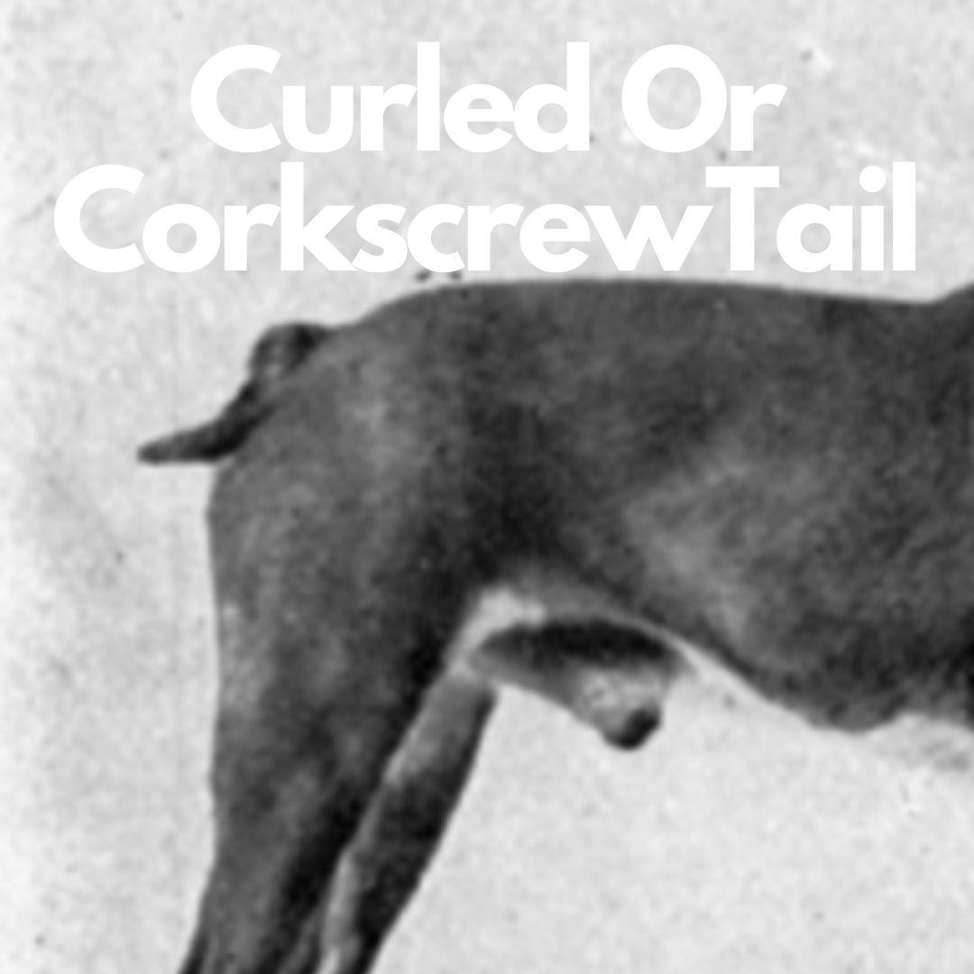 A Boston Terrier with a curled tail. A Boston Terrier with a corkscrew tail. A dog with a curled tail. A dog with a corkscrew tail.