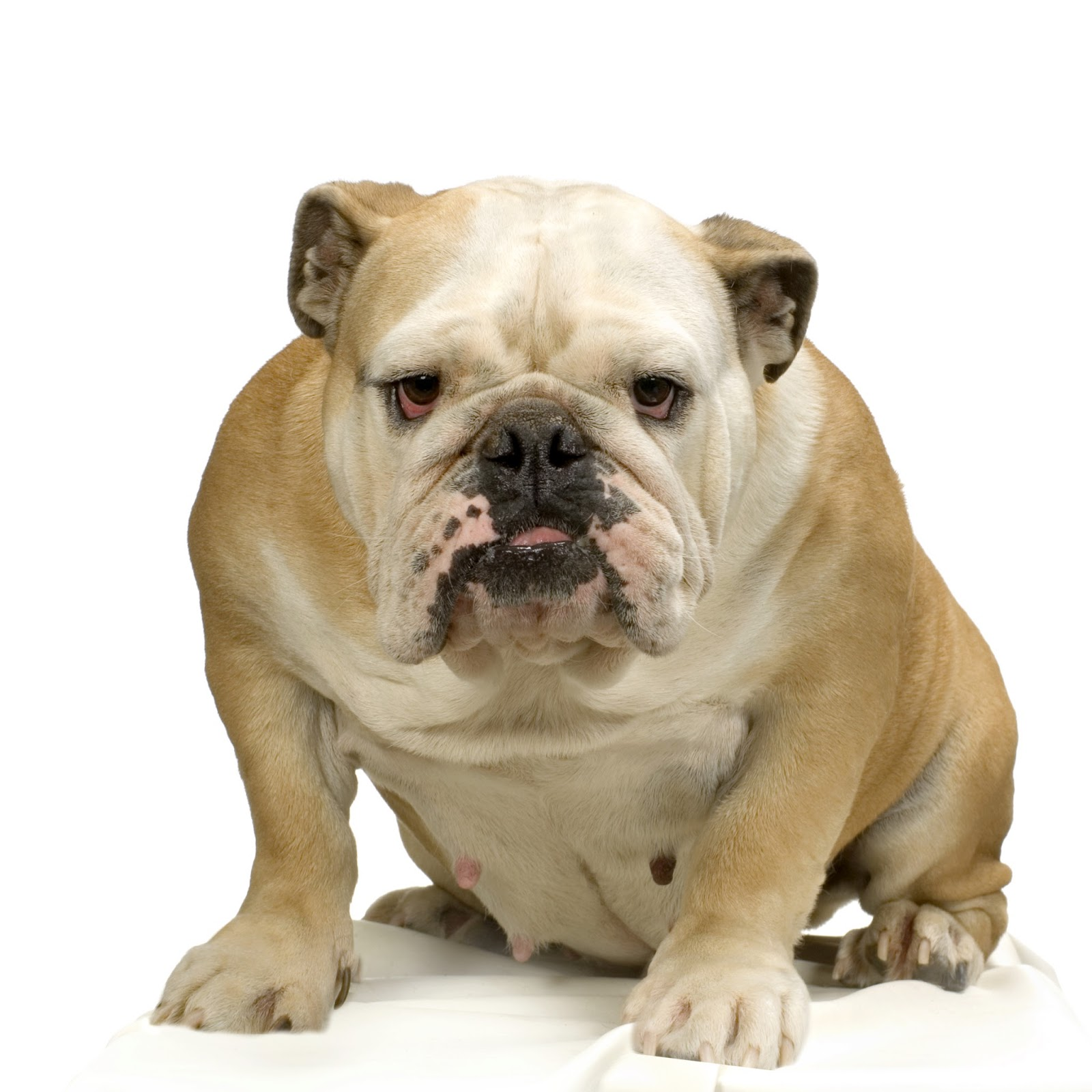 english bulldog cream and white standing in front of white background
