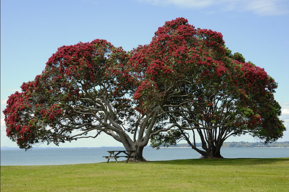 Pohutakawa.PNG