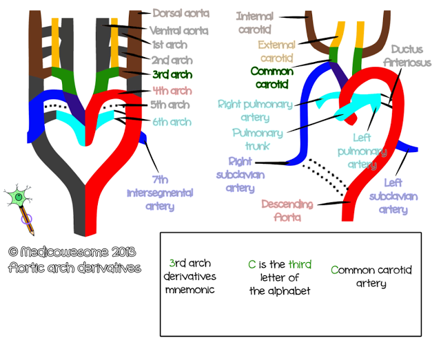 Third arch artery - Aortic arch derivatives embryology mnemonic