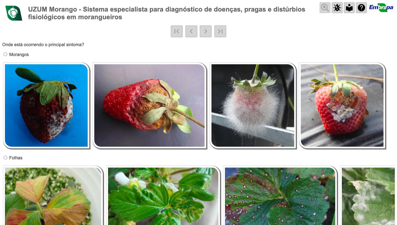 Diagnóstico de doenças, pragas e distúrbios de morangueiros