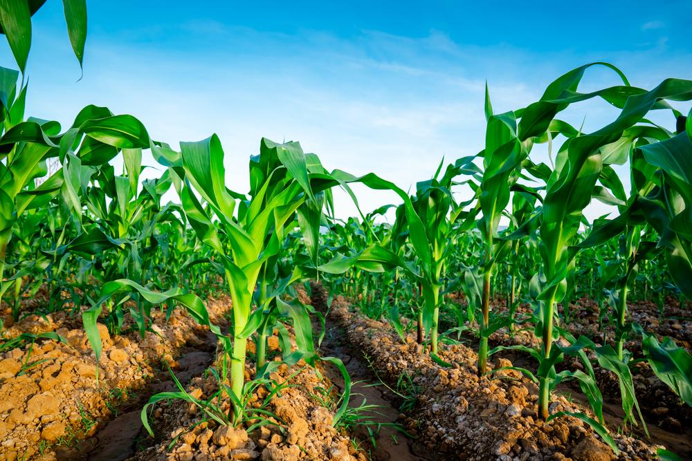 Plantio de milho safrinha pode ser prejudicado com chegada de frio antecipado na Região Sul. (Fonte: Shutterstock/Torychemistry/Reprodução)