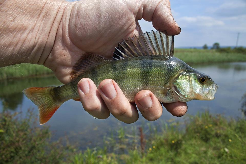 perch fish in stillwater cove
