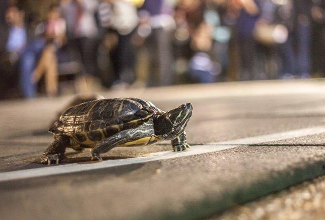 turtle-racing.jpg