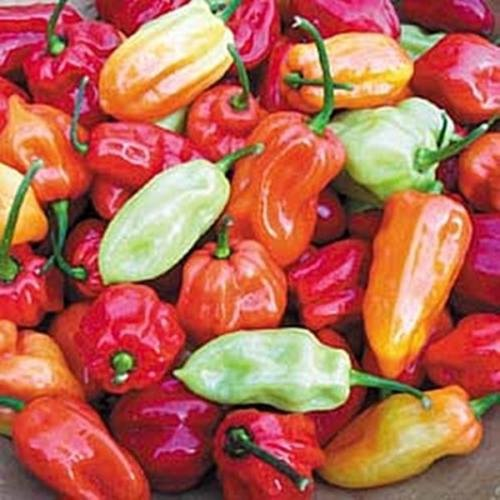 A pile of 1.5-2 inch long peppers in varying stages of ripeness.  From green to orange and red.