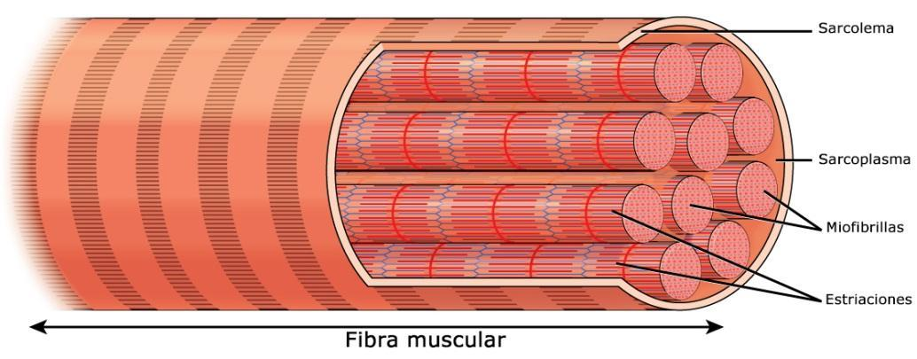 C:\Users\PC\Desktop\fibra muscular.jpg
