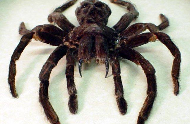 """Résultat de recherche d'images pour """"araignée effrayante"""""""