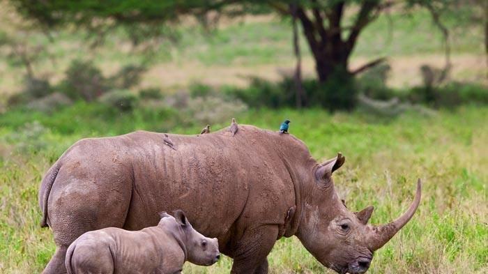 Résultat d'image pour le rhinocéros de Java