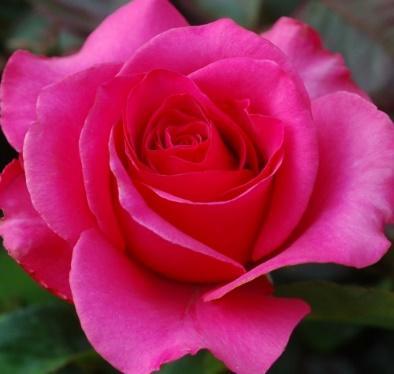 Venrosa Венроза (роза Высоцкого), купить Киев и Украина, питомник Super-Rosa