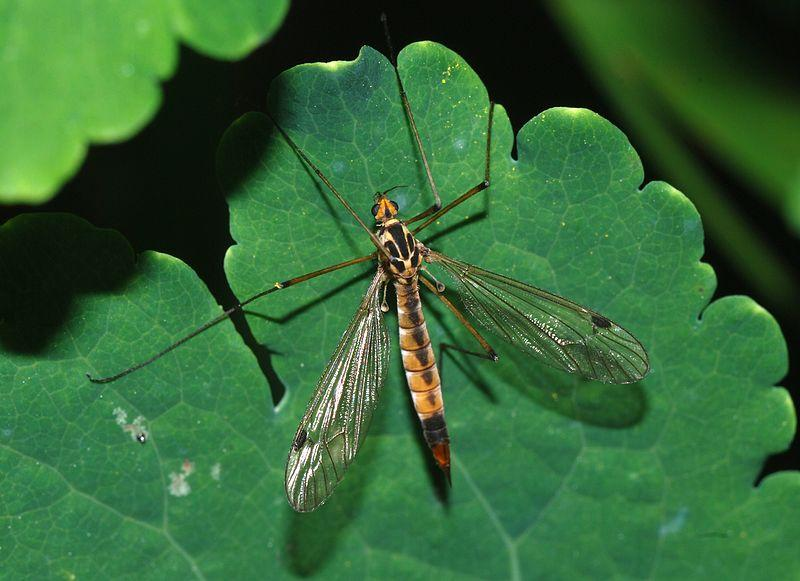 File:Tipulidae April 2008-2.jpg
