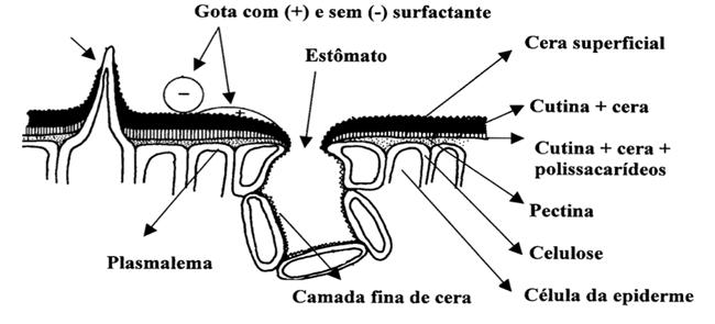 Absorsção de Aminoácidos : Estruturas epidérmicas e a absorção foliar  (Fonte: Rosolem, 2012)