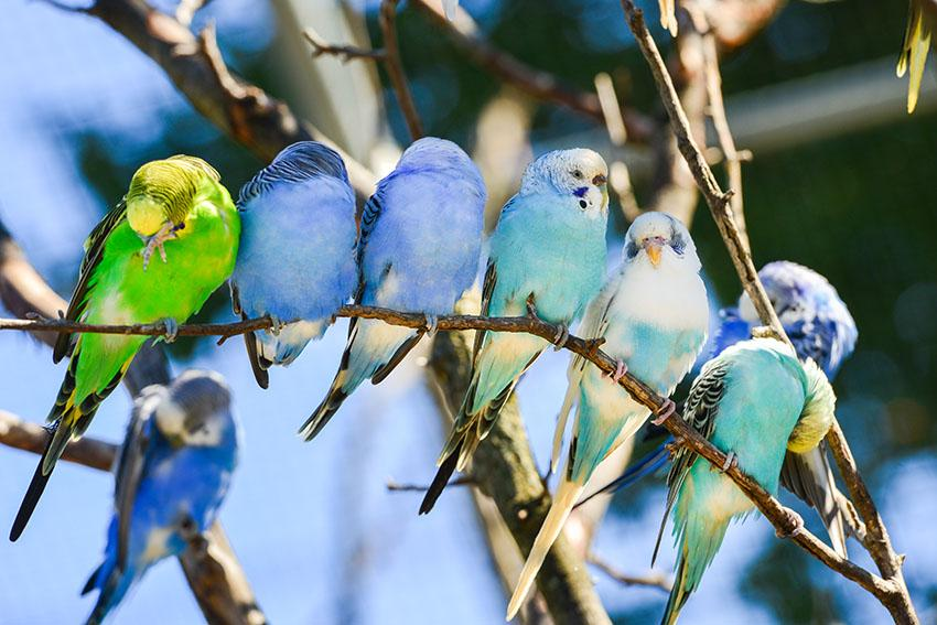 Budgie Colour Types | Varieties and Types | Budgies | Guide | Omlet UK