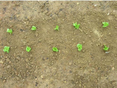 Resultado de imagen de lechugas huerto escolar