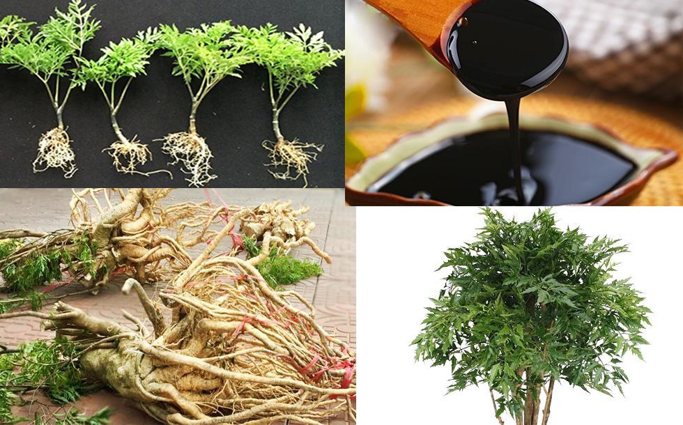 Cao đinh lăng: Nguyên liệu cho ngành sản xuất thực phẩm chức năng