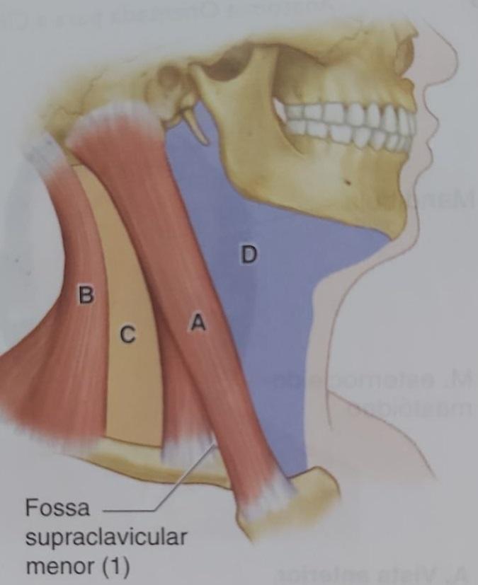 A - região esternocleidomastóidea. B - região cervical posterior. C - região cervical lateral. D - região cervical anterior