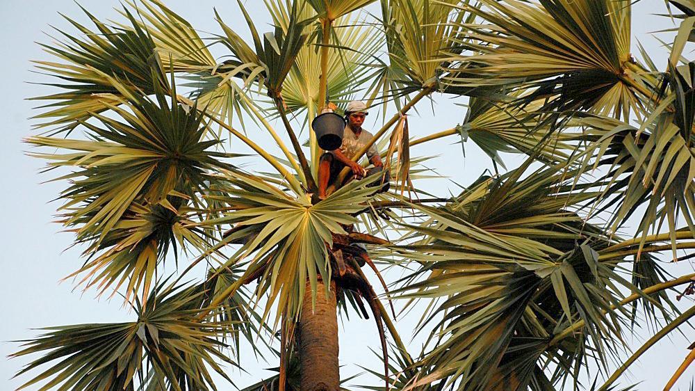 Hasil gambar untuk Lontar palm bali