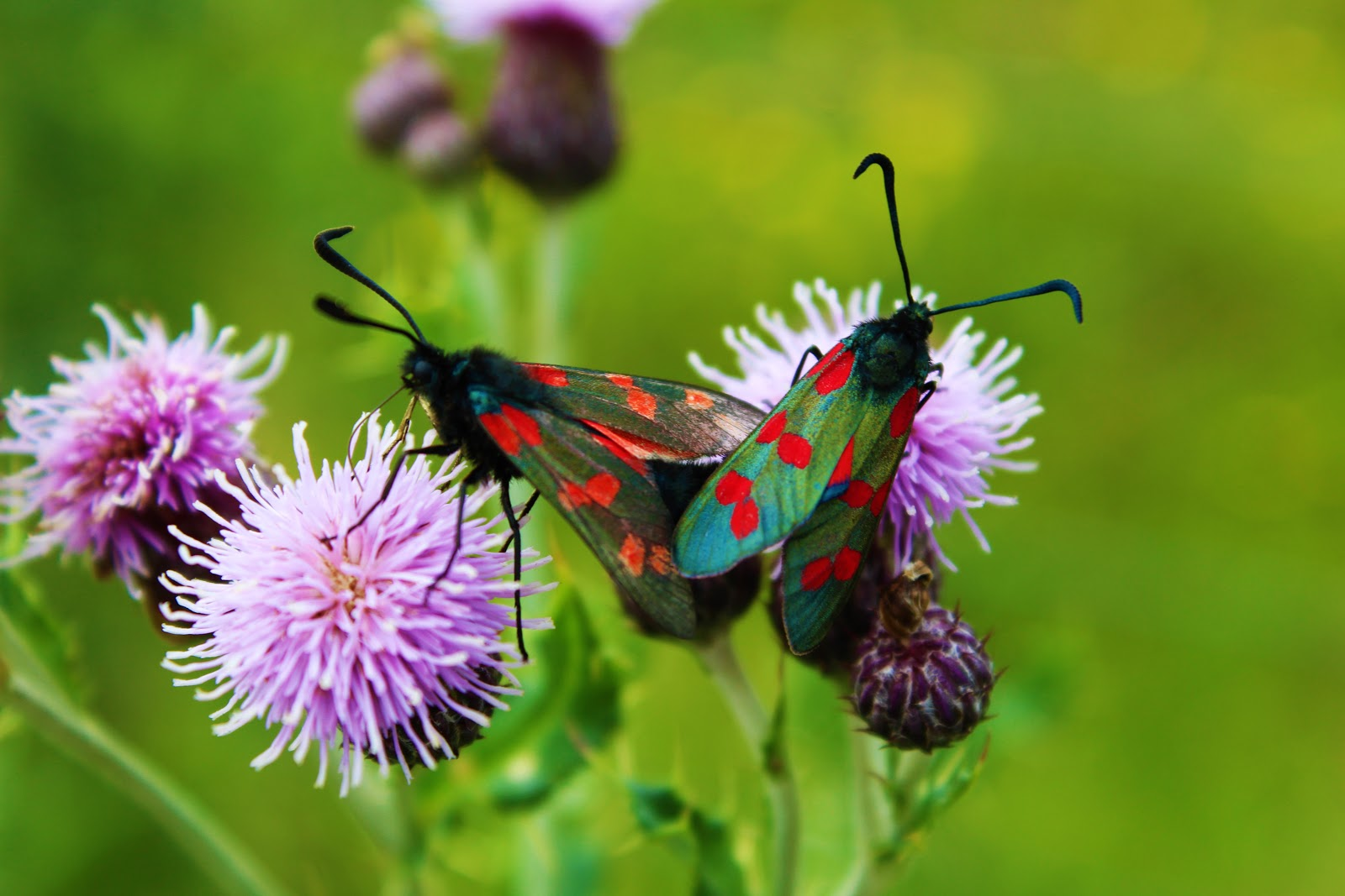 Donegal butterflies.JPG