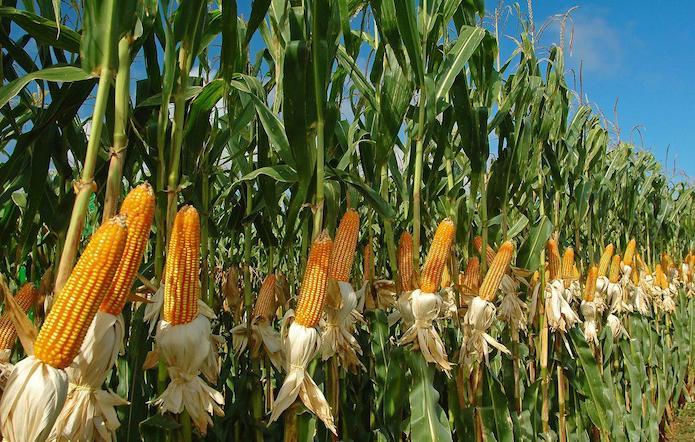 Досвідом і працею LNZ. Готуємось до збирання кукурудзи фото 1 LNZ Group