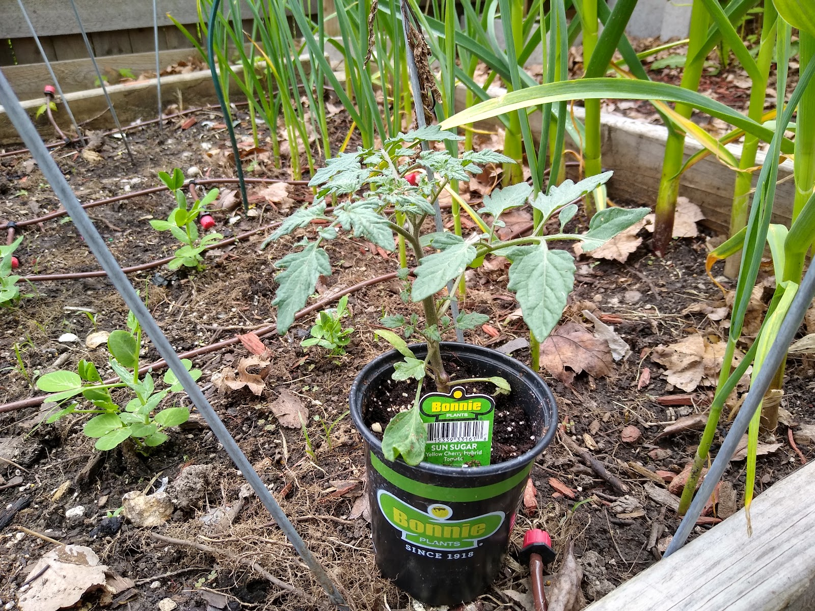 raised bed tomato picture
