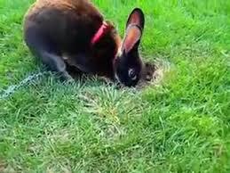 ผลการค้นหารูปภาพสำหรับ กระต่ายการขุด