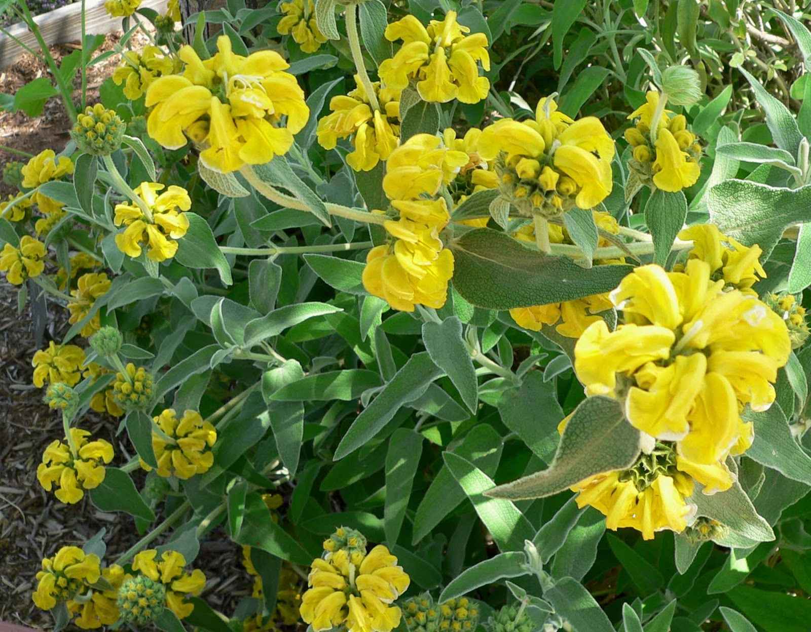 File:Phlomis fruticosa.jpg