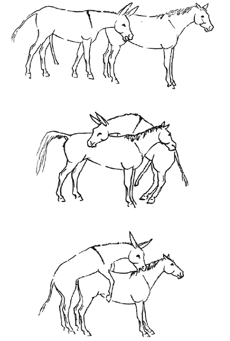 A drawing to illustrate part of the typical donkey jack sexual behavior evident when a jack is turned out freely in a small paddock or a mare in deep estrus (trained to mate with jacks) is placed in the donkey's stall. The donkey, with full erection, approaches an estrous mare that is presenting typical passive behavior (top); the donkey jack may mount the mare, laterally (middle); successful copulation (bottom). This drawing was presented and published in the proceedings of the 55th Annual Convention of the American Association of Equine Practitioners [15].