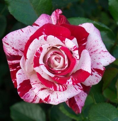Rose 'Scentimental' | Beautiful rose flowers, Rose, Rare roses