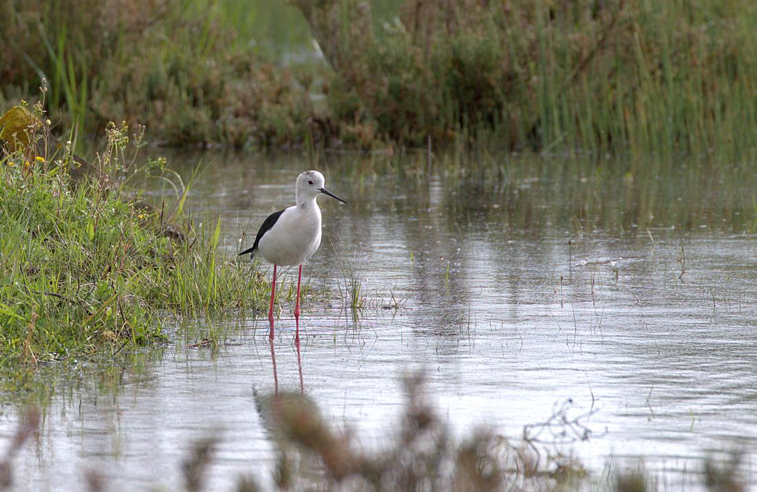black-winged stilt_rsz.jpg