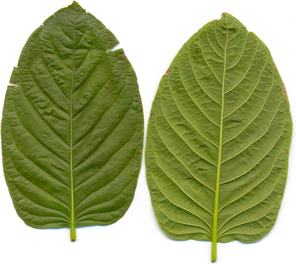 Two kratom leaves zoomed in for detail