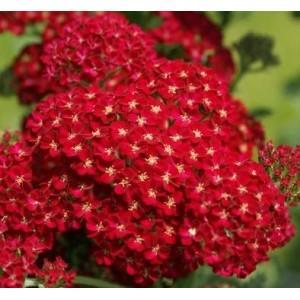 Achillea x millefolium 'Desert Eve Red' / Harilik raudrohi 'Desert Eve Red