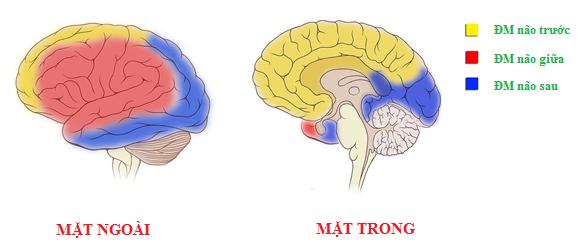 Động mạch não là gì? Tìm hiểu về cấu tạo của nguồn cấp máu cho não